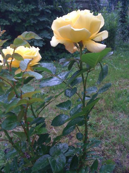 """Un rosier buisson """"Régine"""" comme le prénom de l'amie qui me l'a offert"""