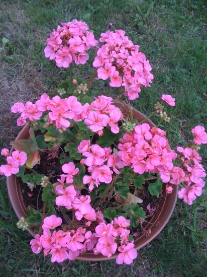 Géraniums dans mon jardin