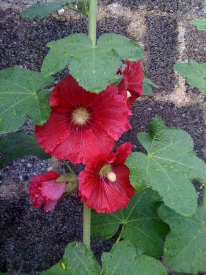 rose trémière Anny