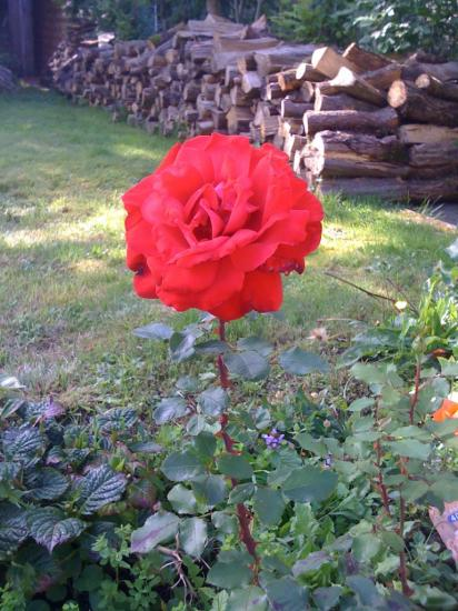 rose Marie-France