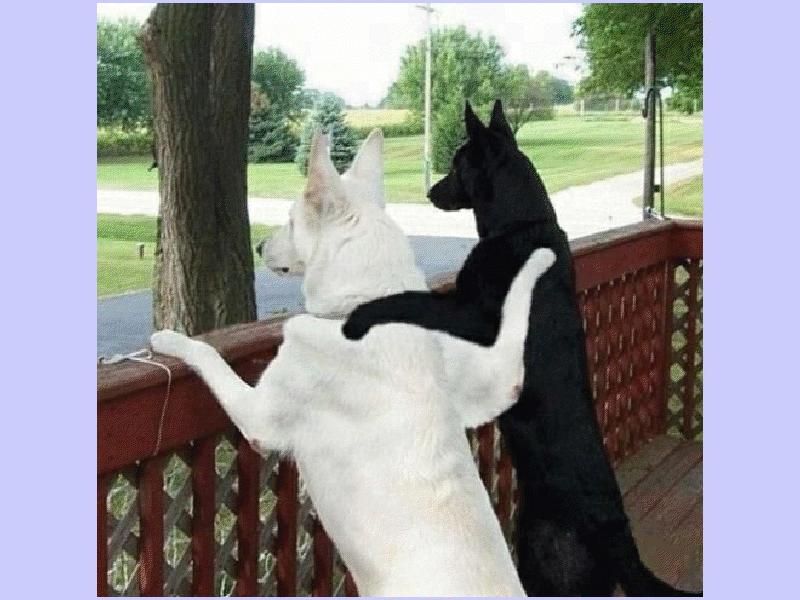 chien blanc chien noir