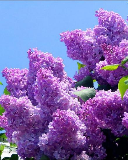 Fleurslilassit