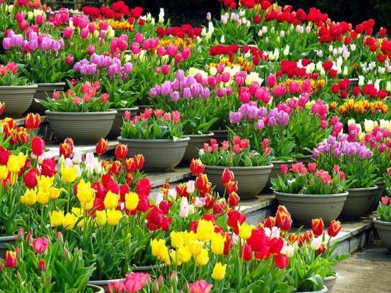 Fleurssitetulipes