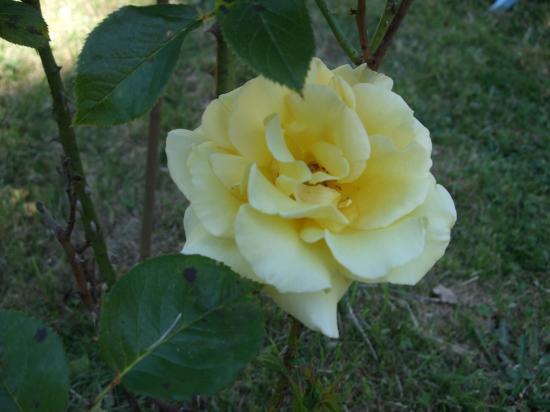 Rose regine nelle pousse