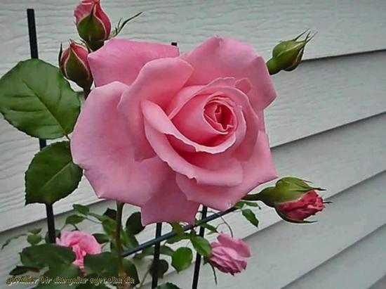 Roserose 1