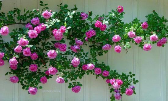 Roses grimp
