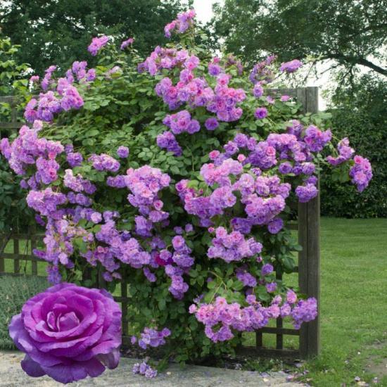 Roses vio