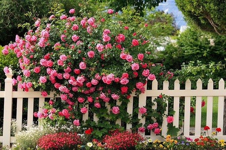 rosesbuiss.jpg
