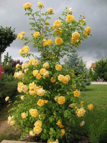 Rosesjaunes22
