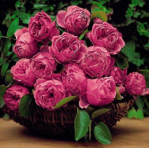 rosespanier.jpg