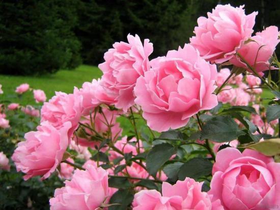 Rosesroses1